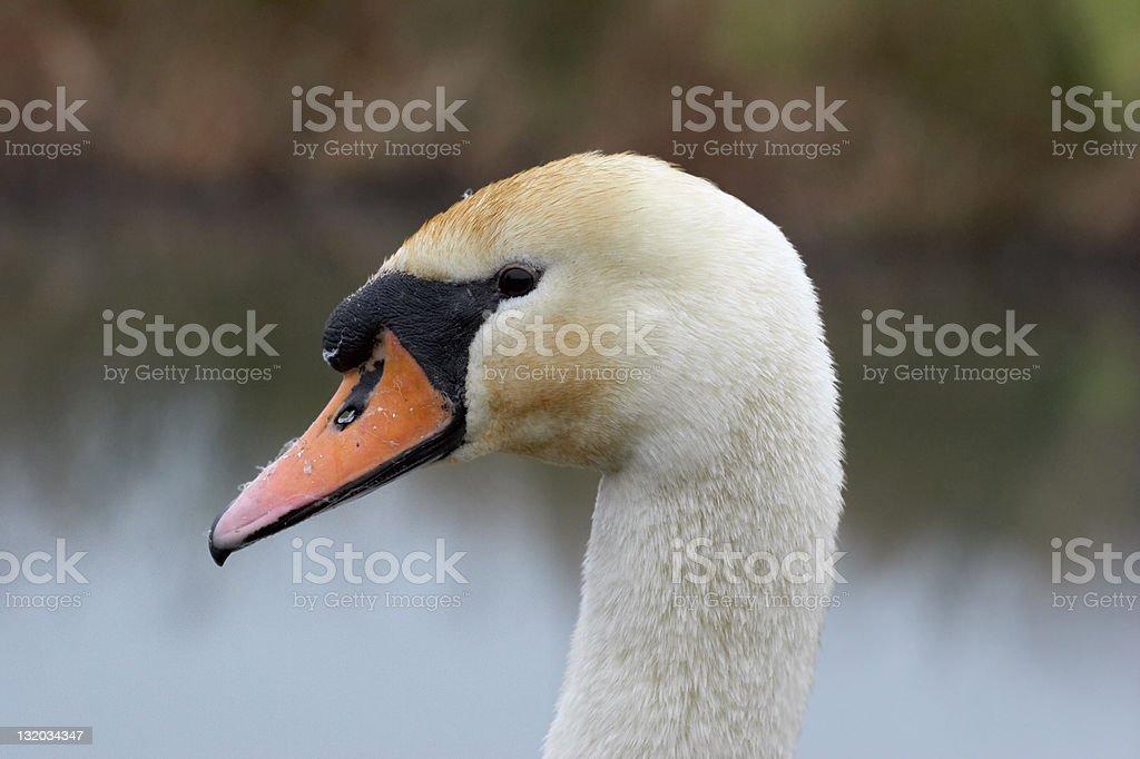 Mute swan headshot royalty-free stock photo