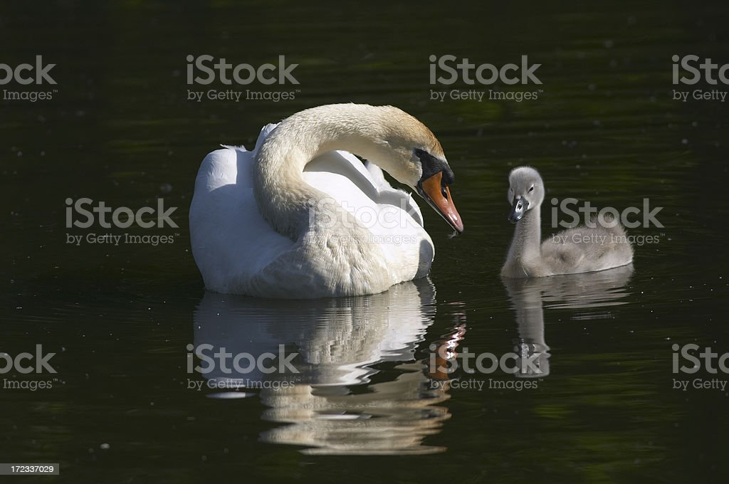 Mute swan mother and cygnet reflected in water royalty-free stock photo
