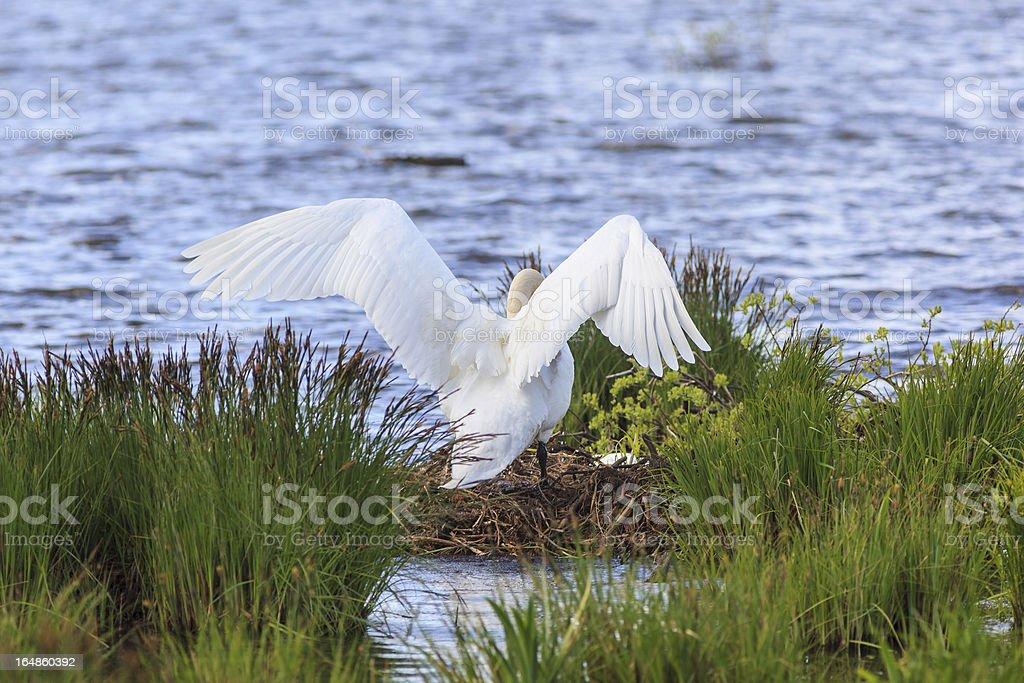 Mute Swan nests royalty-free stock photo