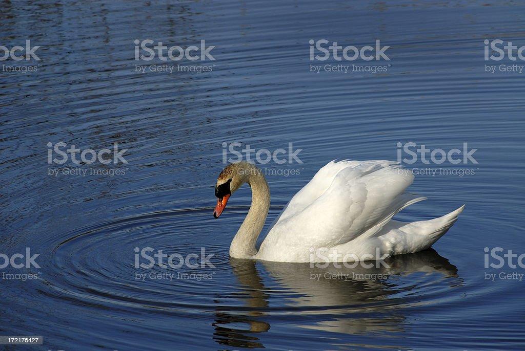 Mute Swan on the Chesapeake Bay stock photo