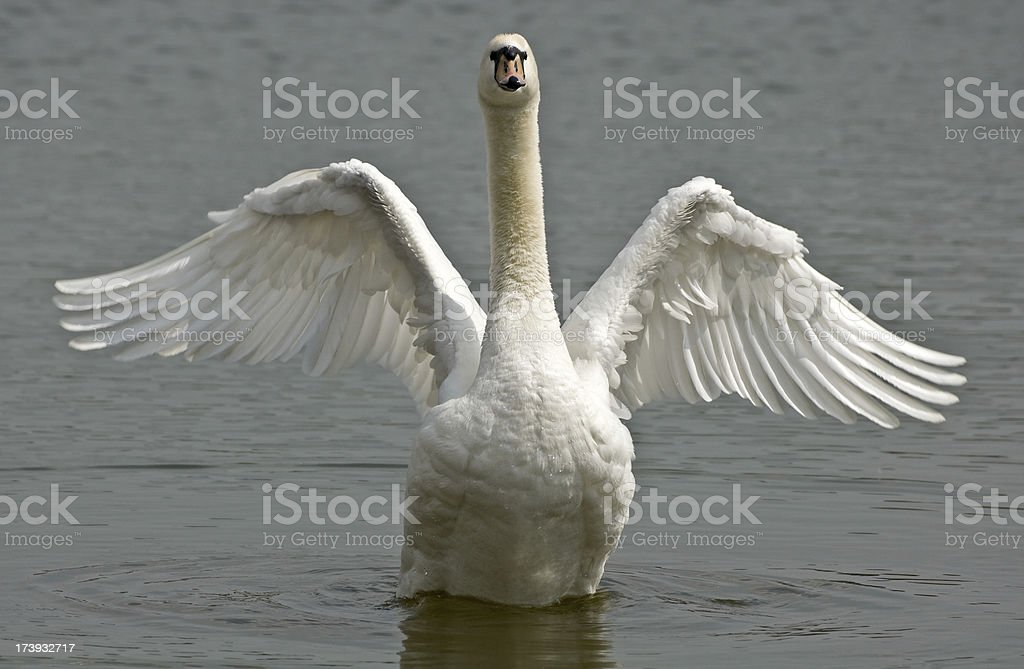 Mute Swan royalty-free stock photo