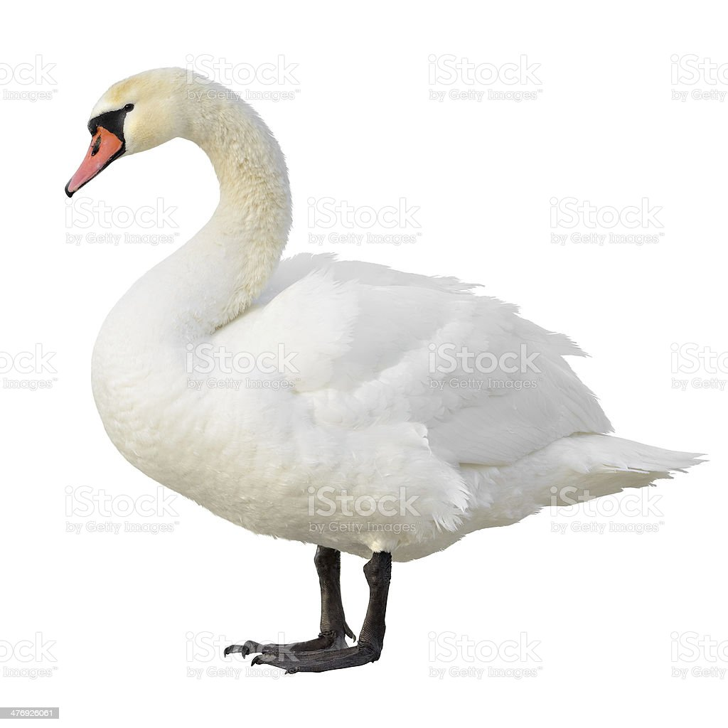 Swan Pictures Images And Stock Photos Istock