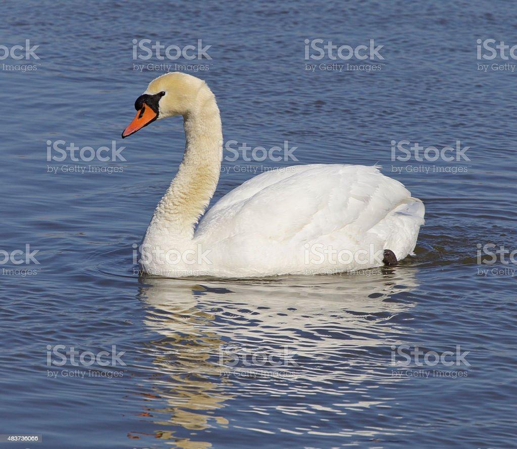Mute swan stock photo