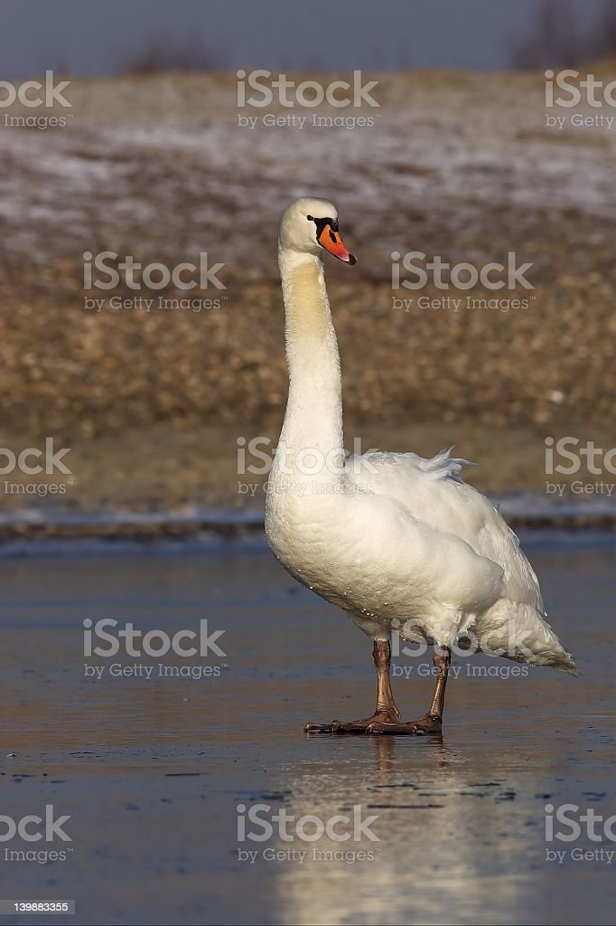 Mute Swan standing on Ice 3. royalty-free stock photo