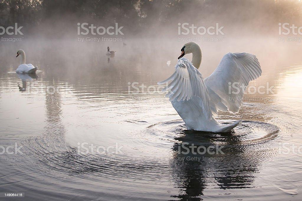 Mute swan (Cygnus olor) stretching wings stock photo
