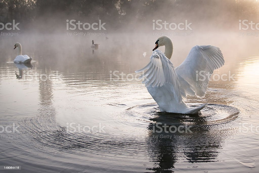 Mute swan (Cygnus olor) stretching wings stock photo
