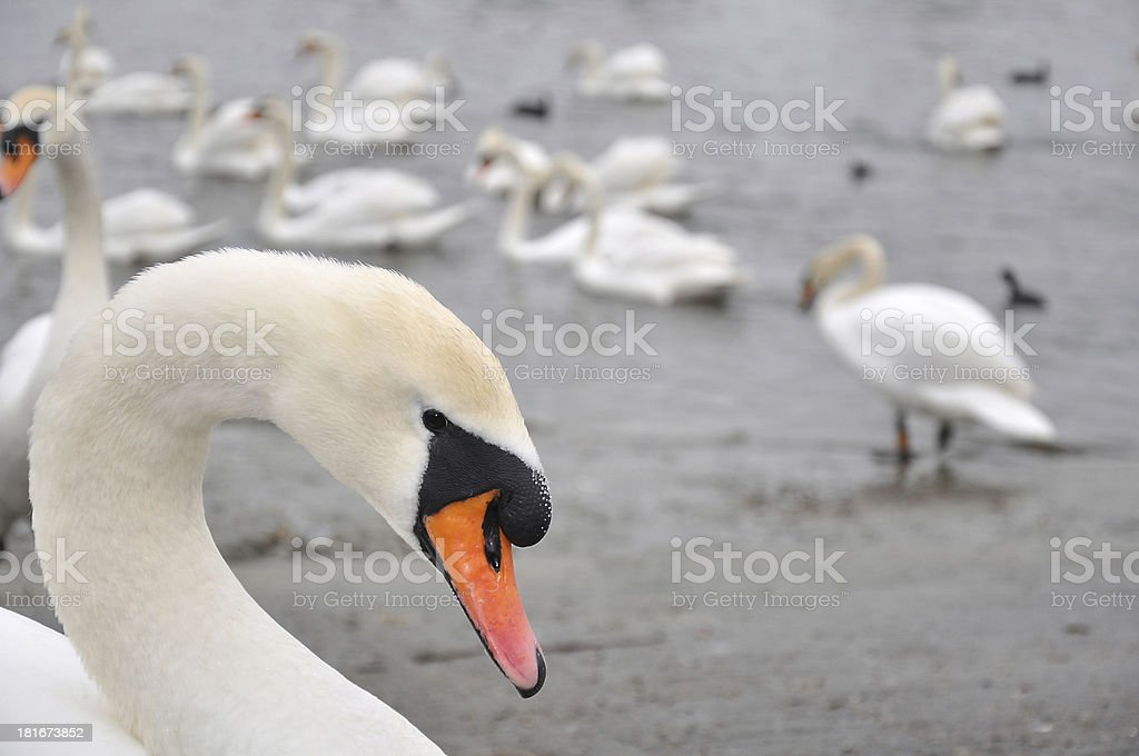 Mute Swan - Sygnus olor royalty-free stock photo