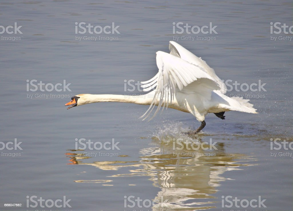 Mute swan taking off from the lake stock photo
