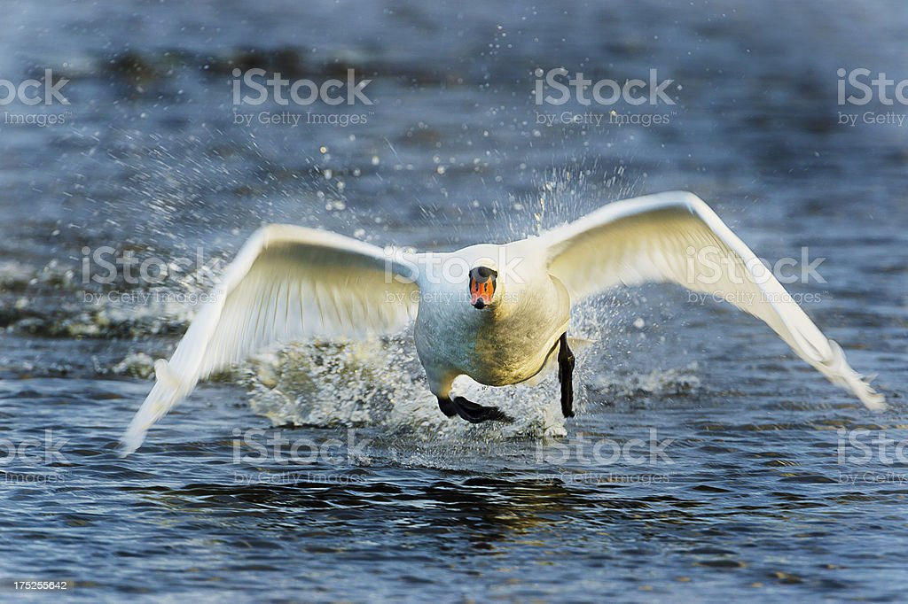 Mute Swan Taking Off royalty-free stock photo