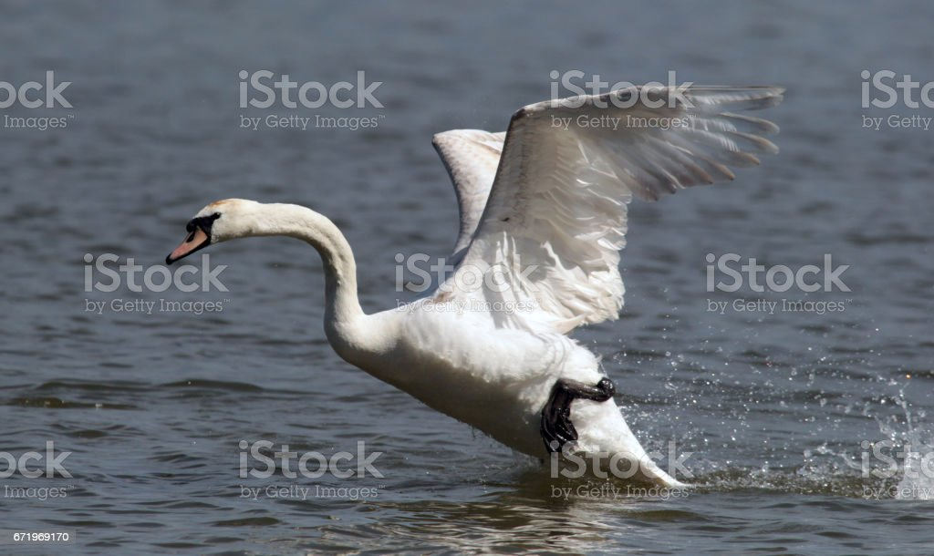 Mute Swan taking off stock photo
