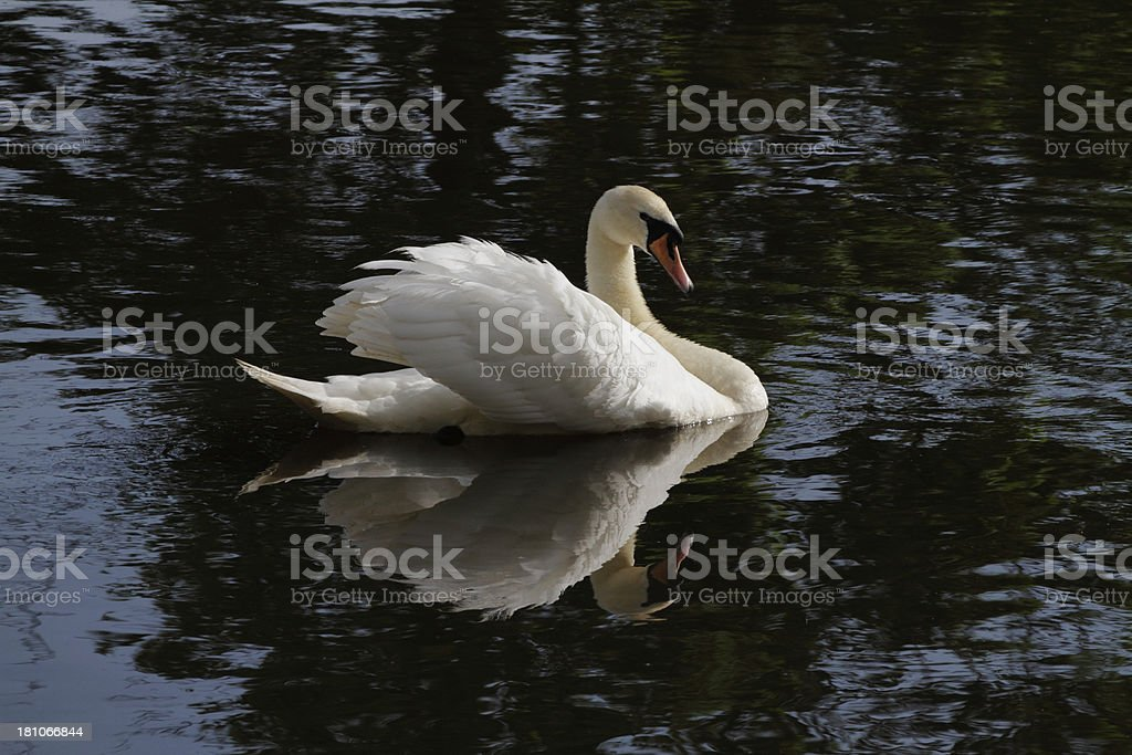 Aggressive mute swan Cygnus olor on rippled water royalty-free stock photo