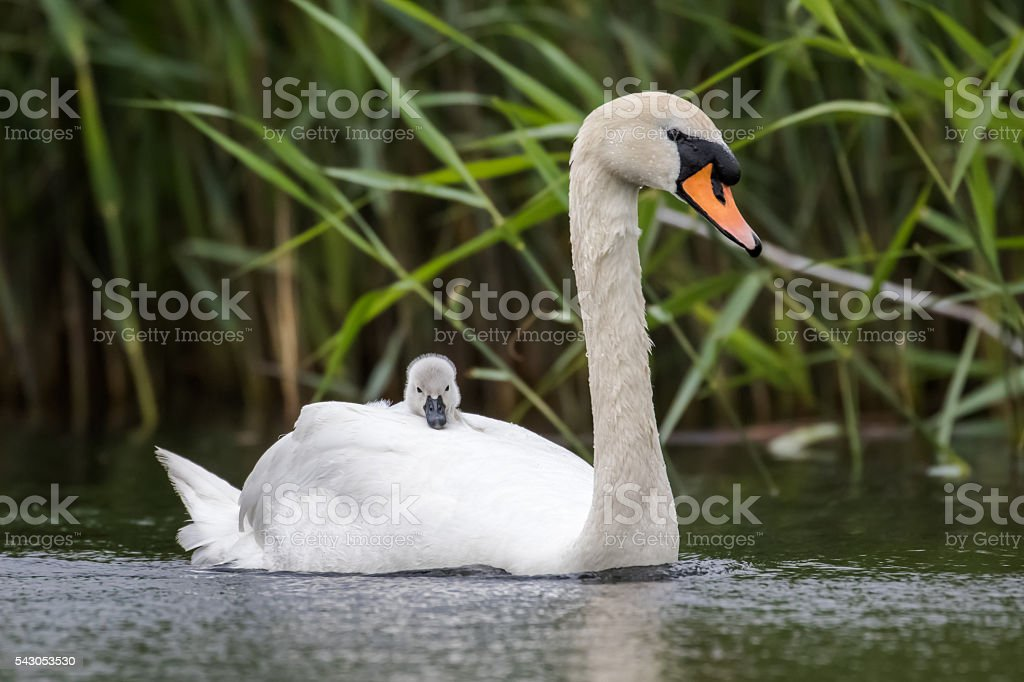 Mute Swan (Cygnus olor) with cygnet riding on back stock photo