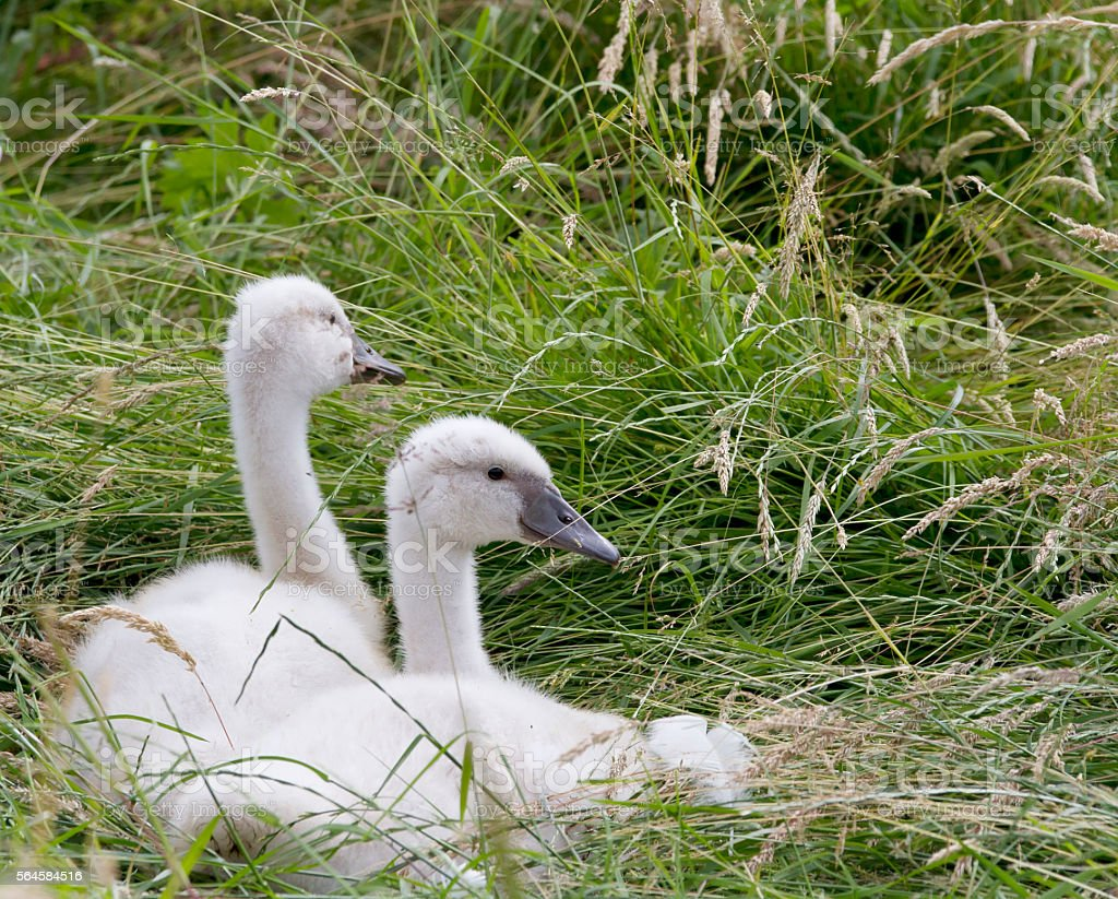 Mute Swan  (Cygnus olor) Young Birds stock photo