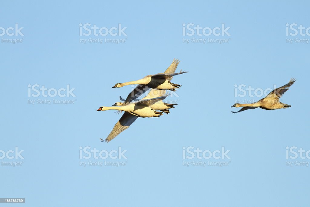 mute swans family in flight royalty-free stock photo