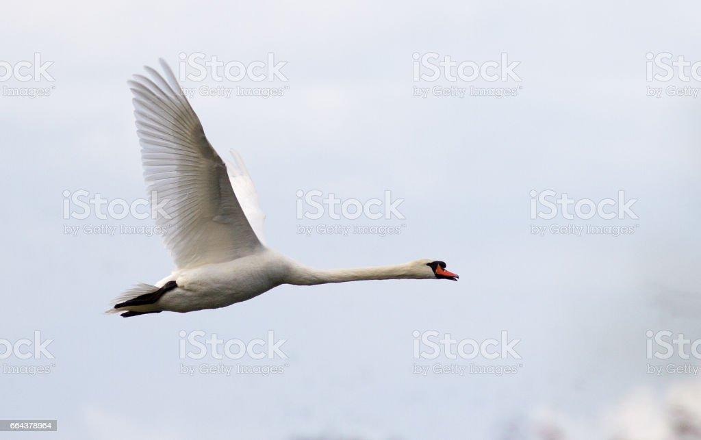 Mute swans in flight stock photo
