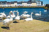 mute swans in Galway city.