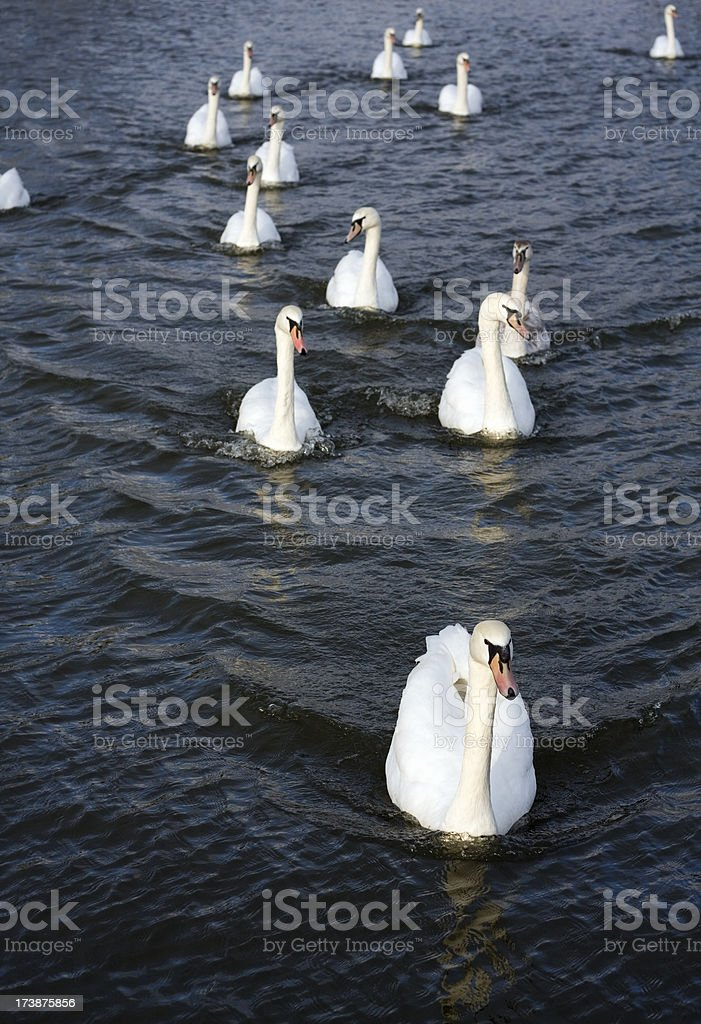 Mute swans royalty-free stock photo