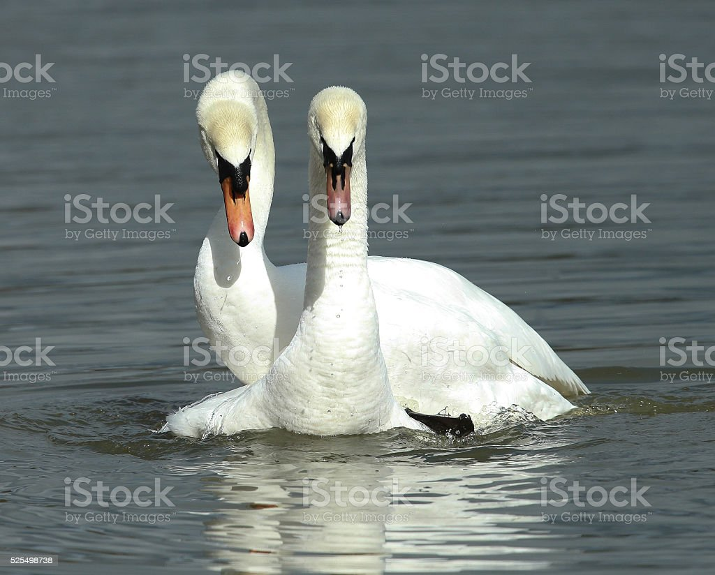 Mute Swans stock photo