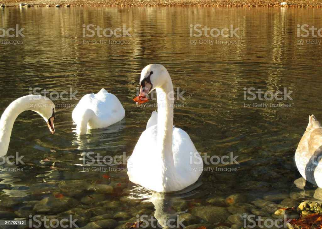 Mute Swans relaxing on Schwansee, the Lake at the foothill of Hohenschwangau Castle, Germany stock photo