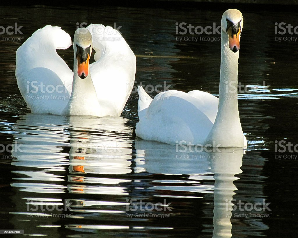 Muted swans at Bok Tower, Florida stock photo