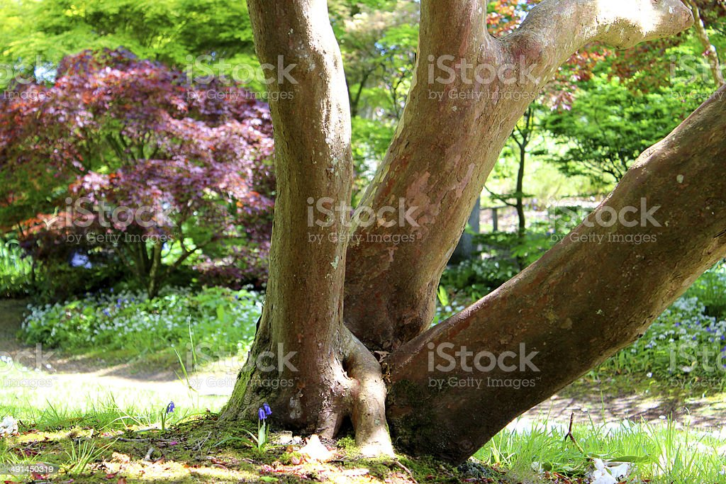 Mutliple trunks of a rhododendron bush, clump of three trunks stock photo