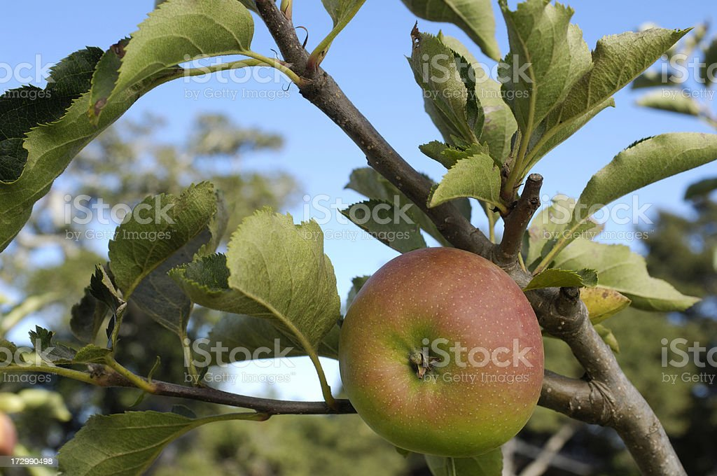 Mutsu Apple Rippening on Tree stock photo