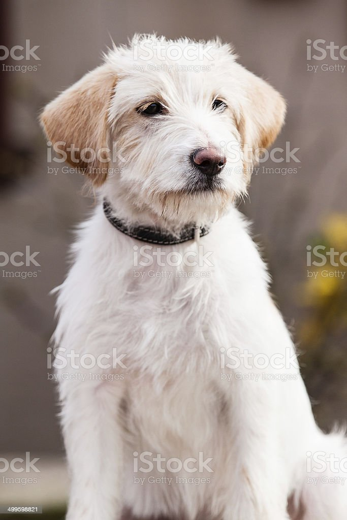 Mutt of Spinone Italiano stock photo