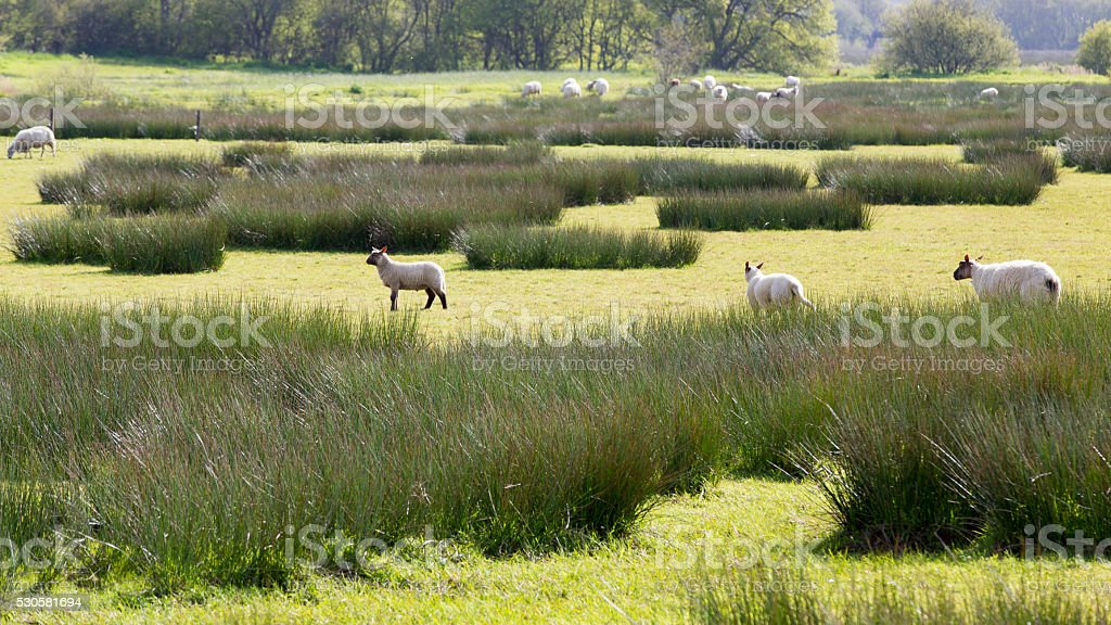 Mutton in swamp marsh France stock photo