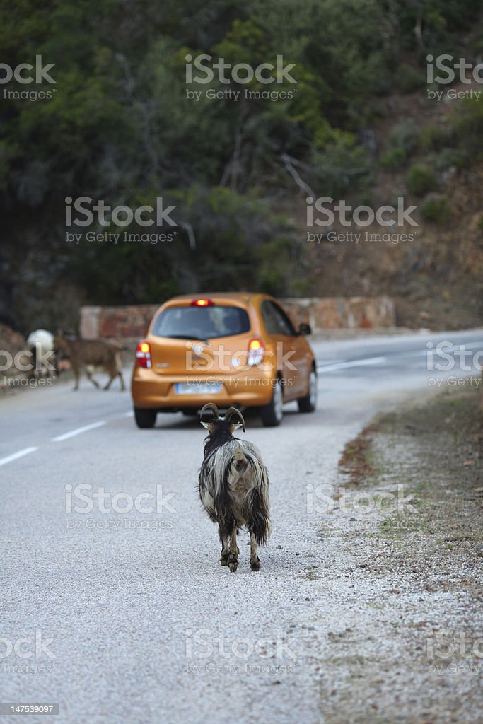 Mutton on the road an orange car stock photo