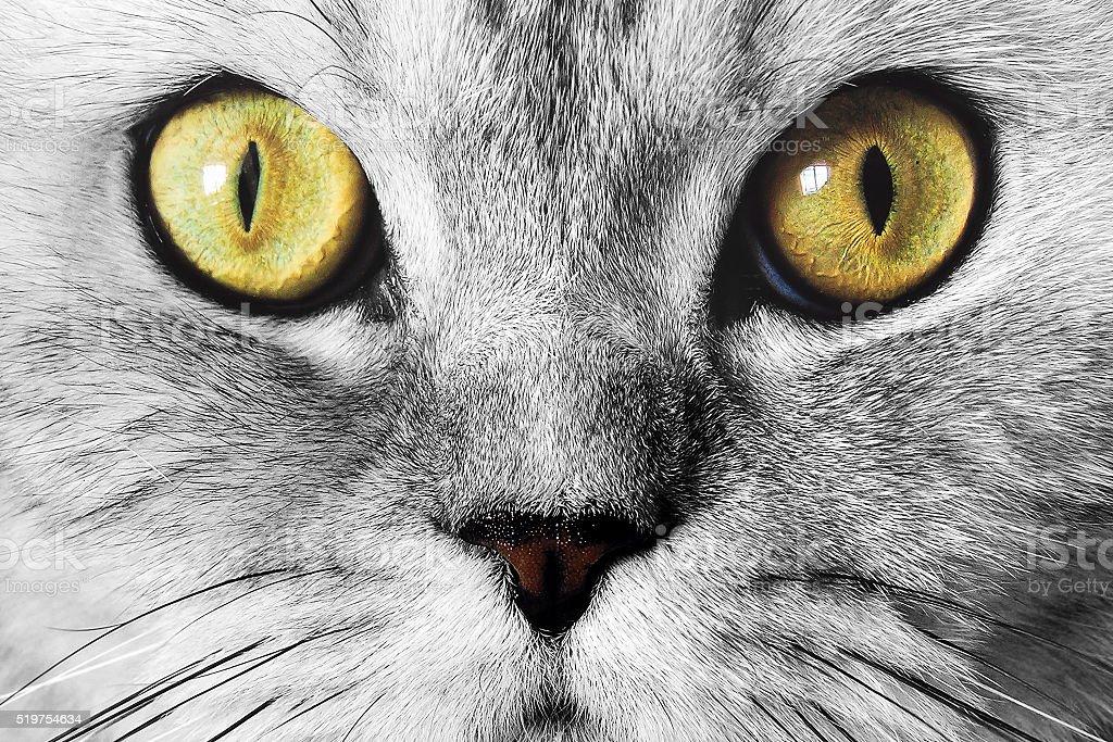 Muzzle cat closeup stock photo