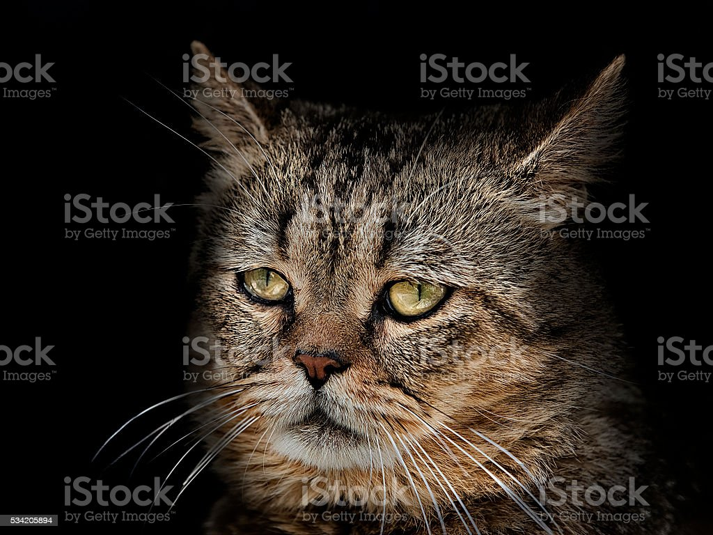 muzzle cat of the Scottish breed close-up on black stock photo