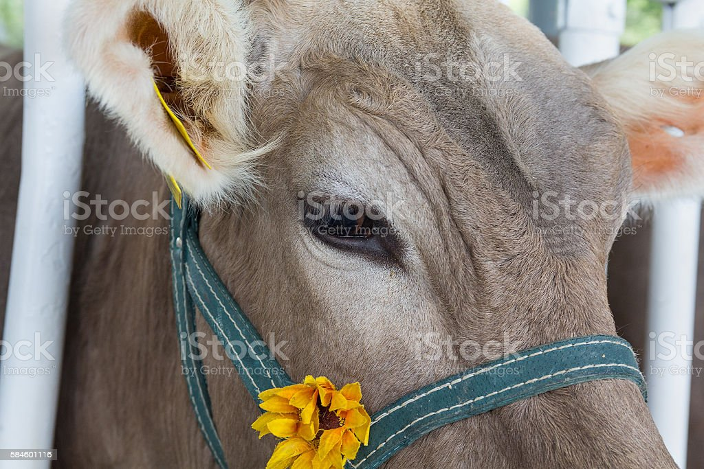 Muzzle of a cow in a stall close-up. Animals stock photo
