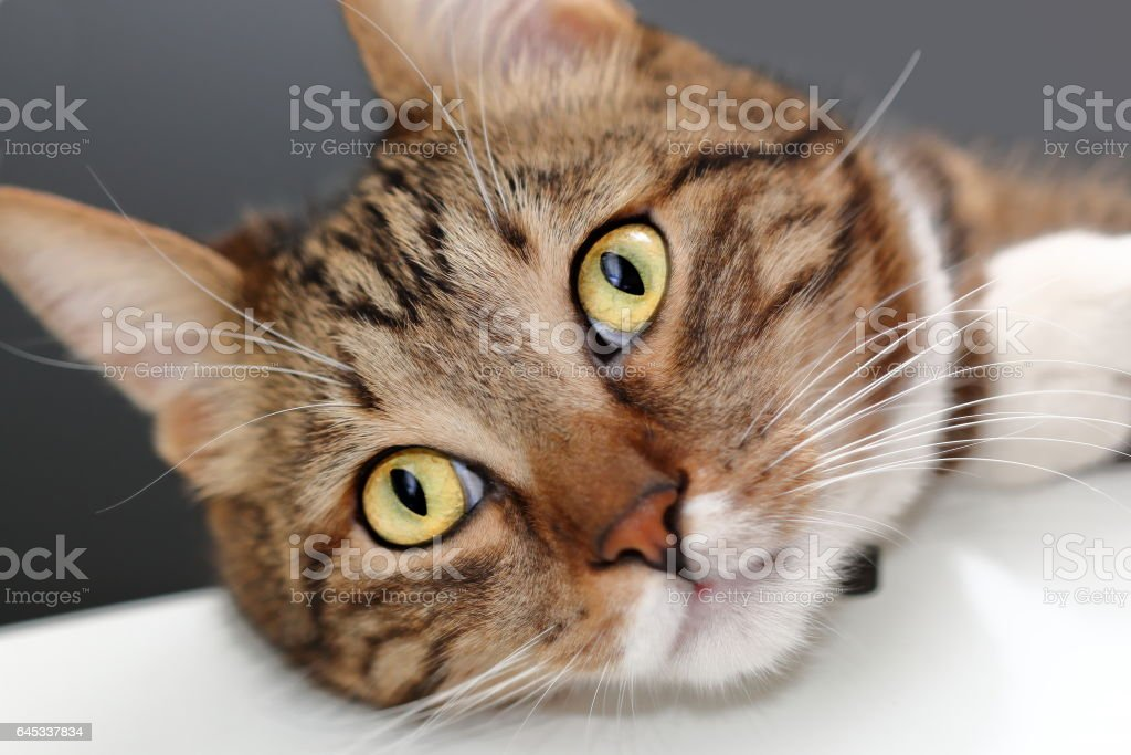 Muzzle of a domestic cat close up stock photo