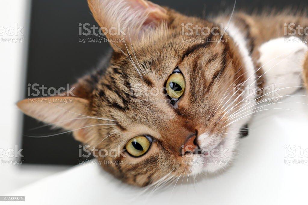 Muzzle of a domestic cat stock photo