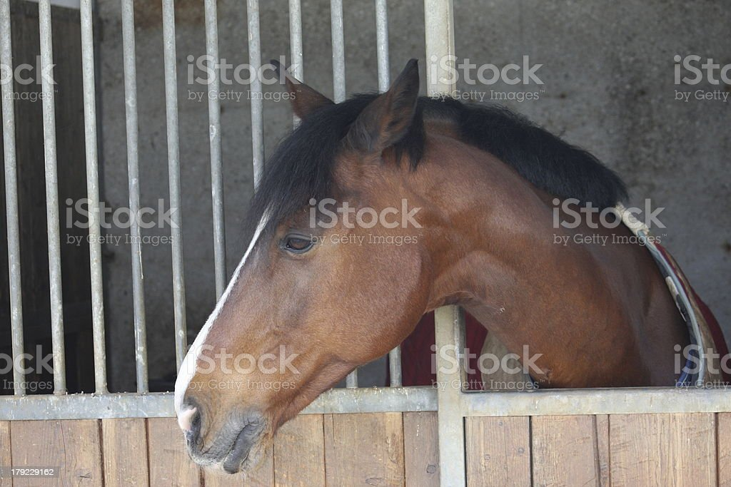 muzzle of a horse that comes out with his head royalty-free stock photo