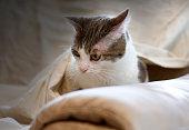Muzzle of cat hidden between the covers. very tender! III