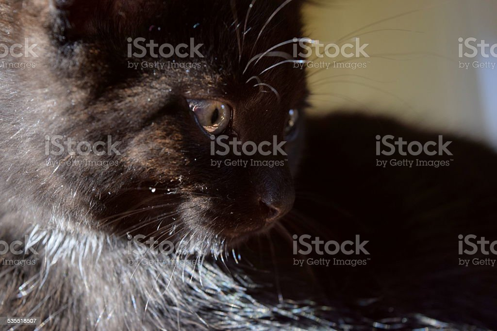 muzzle of cat royalty-free stock photo