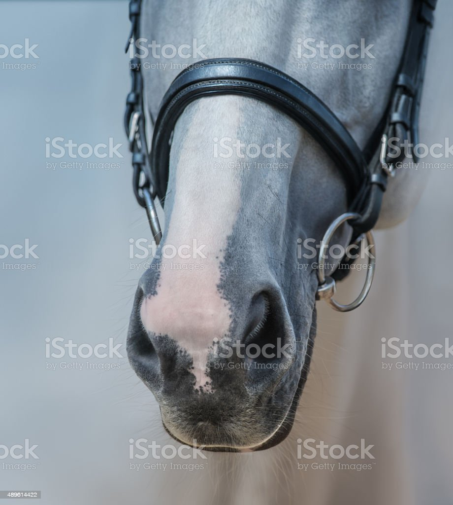 Muzzle of grey stallion with white mark close up stock photo