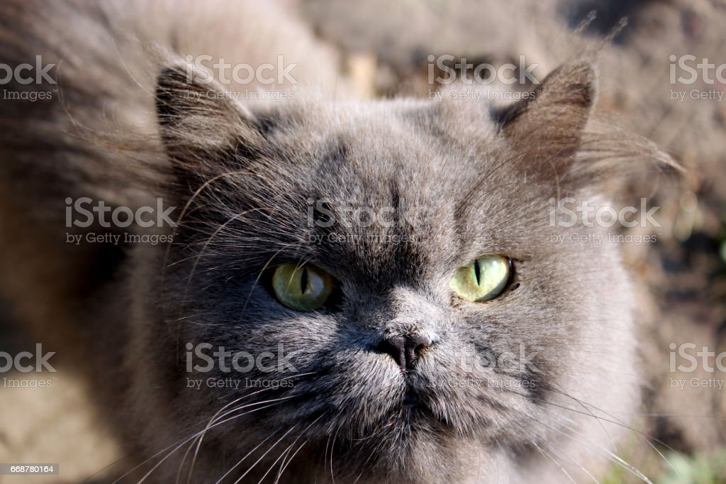 muzzle of nice Persian cat stock photo