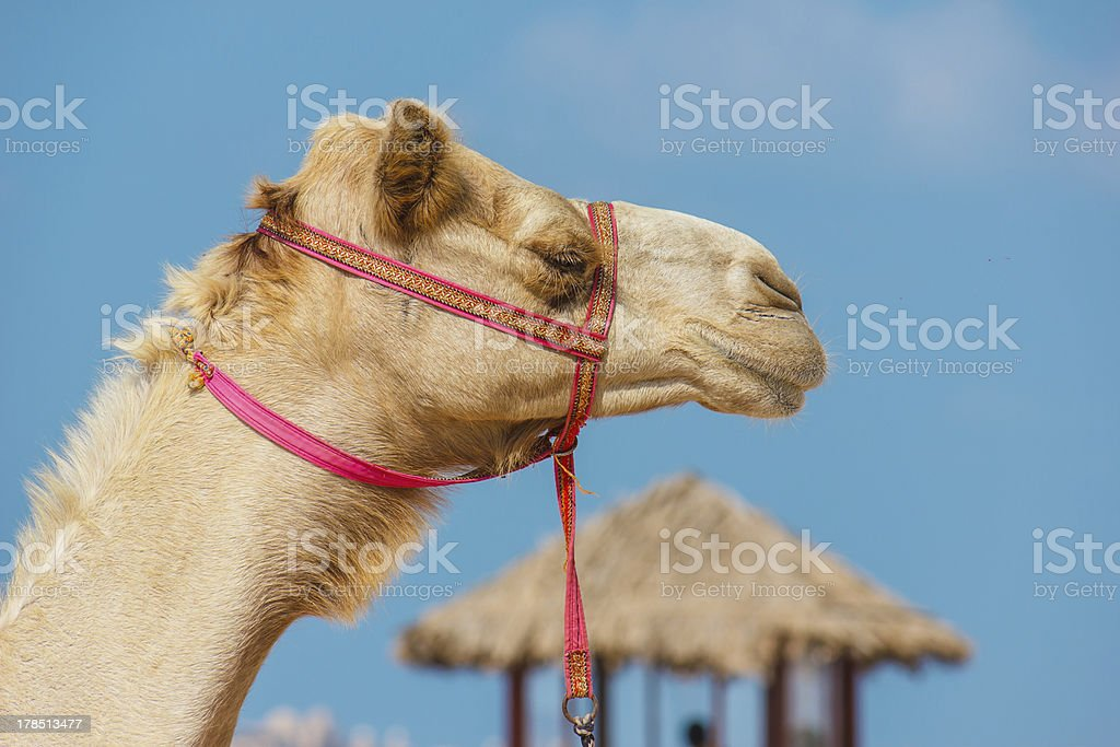 muzzle of the African camel royalty-free stock photo