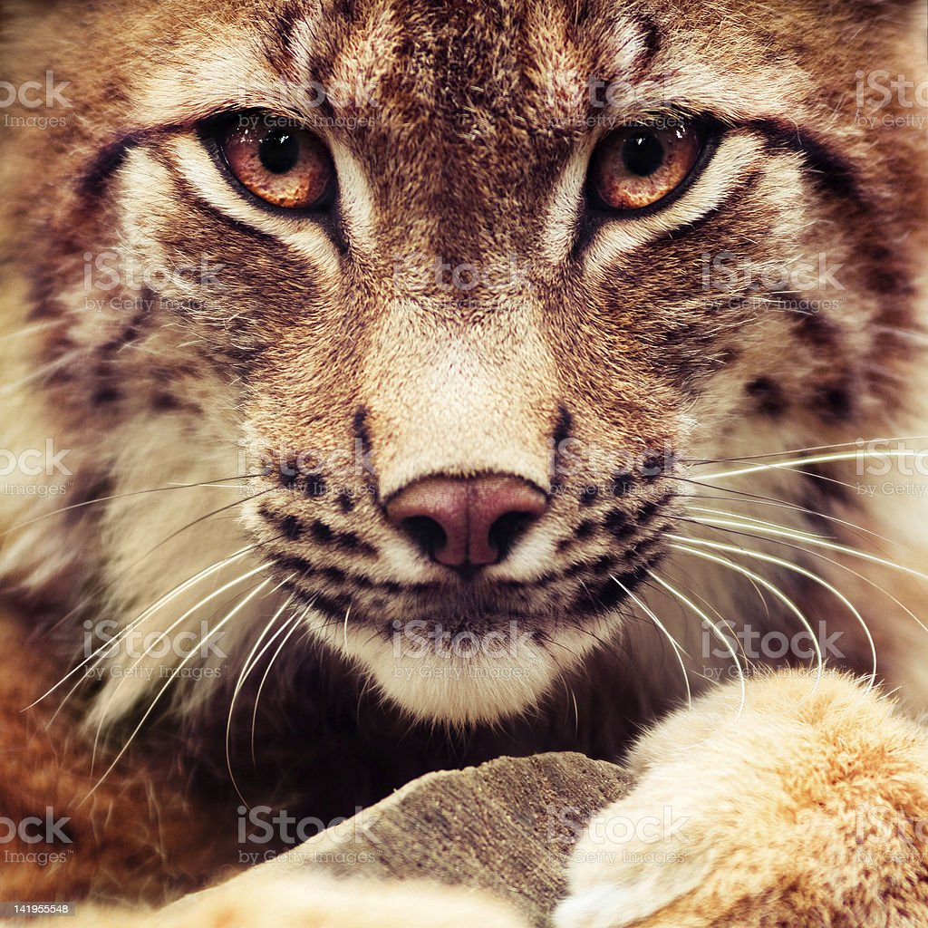 Muzzle of wild lynx close-up royalty-free stock photo