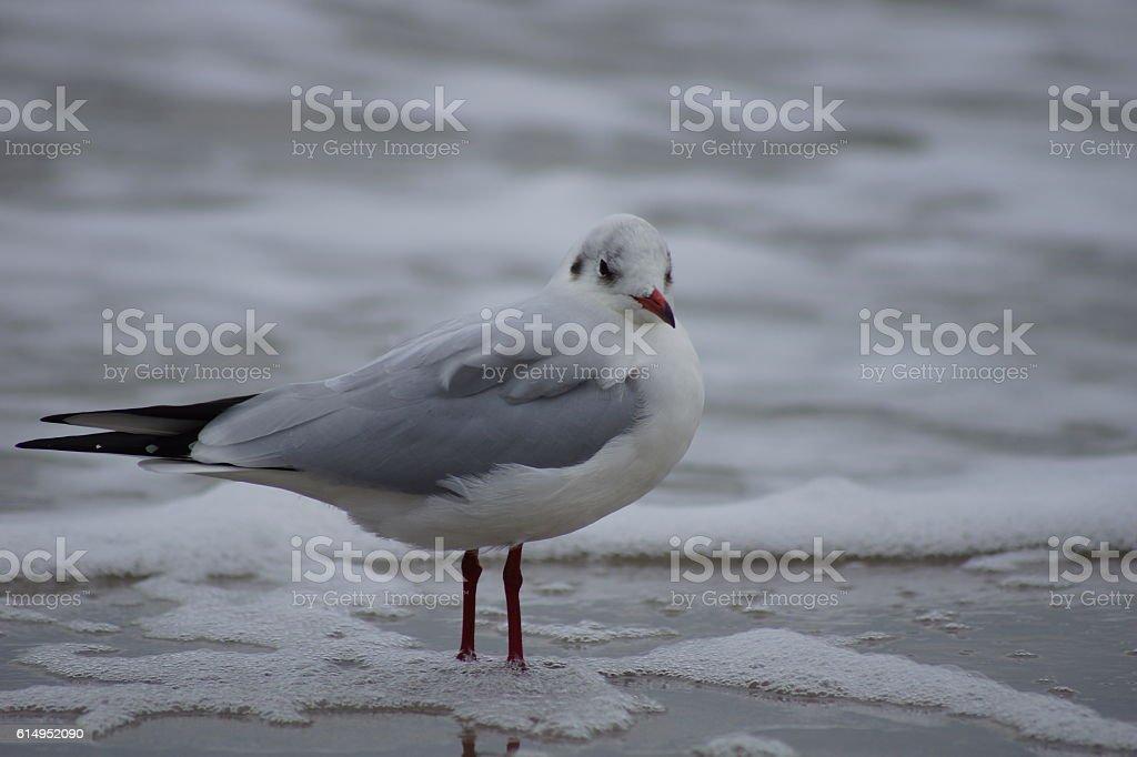 Möwe an der Ost-See stock photo