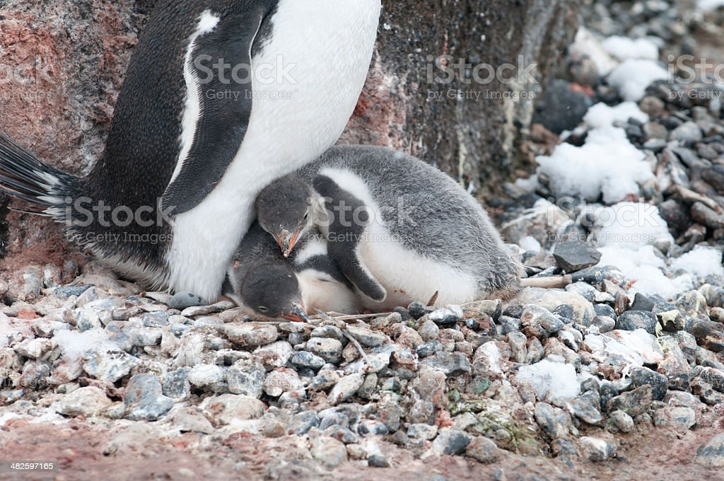 My Brother, The Pillow--Gentoo Penguin Chicks (Brown Bluff, Antarctica) stock photo