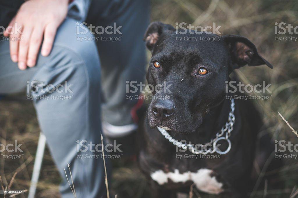My cute Pit bull dog stock photo