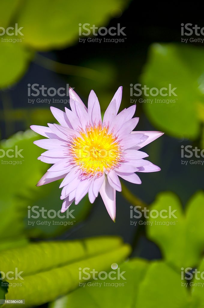 My Flower in Thailand - Koh Samui royalty-free stock photo