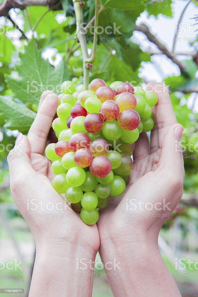 My grapes royalty-free stock photo