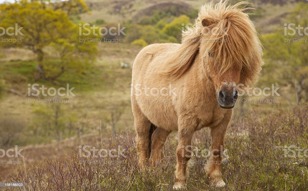 My Highland Pony royalty-free stock photo