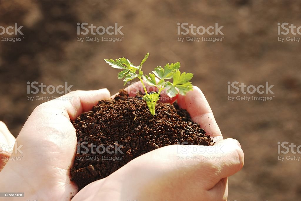 My little parsley stock photo