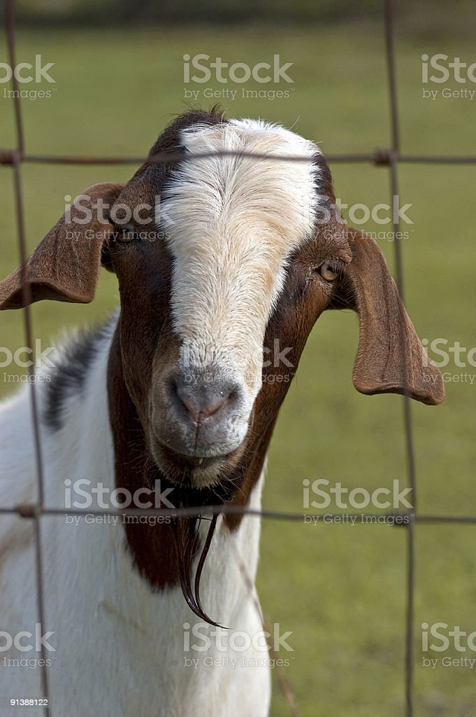 My Name is Billy Goat royalty-free stock photo