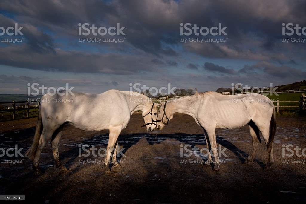 My shadow self- two gray horses greet. stock photo
